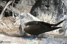Blue Footed Boobies - Galapagos 2010 -IMG 6932