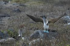 Blue Footed Boobies - Galapagos 2010 -IMG 7066