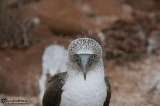 Blue Footed Boobies - Galapagos 2010 -IMG 7665