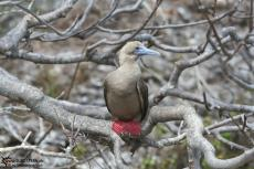 Red Footed Boobies - Galapagos 2010 -IMG 7931