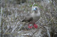 Red Footed Boobies - Galapagos 2010 -IMG 8139